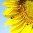 Ladybird on sunflower  — Stock Photo #34367485