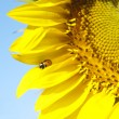 Ladybird on sunflower — Stockfoto