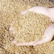 Grains of wheat in hands — Stock Photo