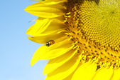 Ladybird on sunflower — Stock Photo