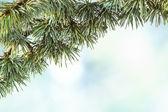 Christmas cedar on blue sky — Stock Photo