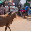 Stray cow walks on the marketplace — Stock Photo