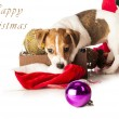 Jack Russell Terrier playing with Santa hat — Stock Photo