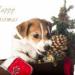 Jack Russell Terrier puppy chewing Christmas pine cone — Stock Photo