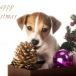 Jack Russell Terrier playing with Christmas decorations — Stock Photo