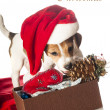 Jack Russell Terrier puppy in Santa hat  — Stock Photo