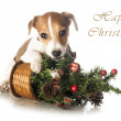Jack Russell Terrier with Christmas tree — Stock Photo
