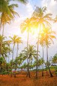 Coconut trees in Goa — Stock Photo