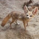 Постер, плакат: Cape fox