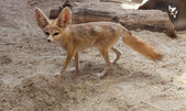 Cape fox on the desert — Stock Photo