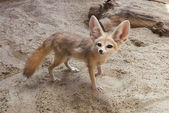 Cape fox (Vulpes chama) — Stock Photo