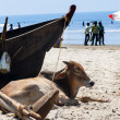 Cow lying near the boat — Stock Photo #39572177