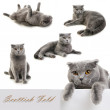 ������, ������: Set of Scottish fold cat