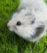 Syrian hamster sitting on grass — Stock Photo