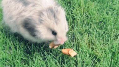 Syrian hamster eating walnuts — Stock Video