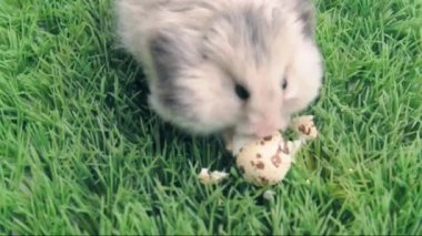 Syrian  hamster eating the  egg — Stock Video