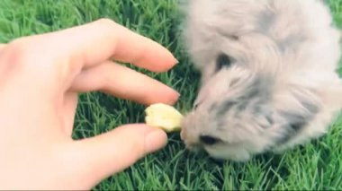 Syrian  hamster eating yolk of  quail egg — Stock Video