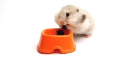 Syrian hamster eating raisins — Stock Video