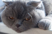 British shorthair grey cat — Stock Photo