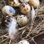 Quail eggs — Stock Photo