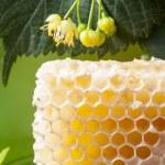 favos de mel de tília — Fotografia Stock  #47320913