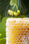 Linden honey combs — Stock Photo