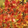 Red aspen tree — Stock Video