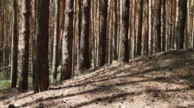 Pine forest in summertime — Stock Video