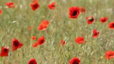 Red poppies on the field swaying in the wind