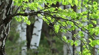 Bosque de abedules de primavera — Vídeo de stock