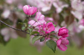 Blossoming apple trees — Stock Photo