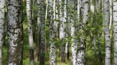 Březový les — Stock video
