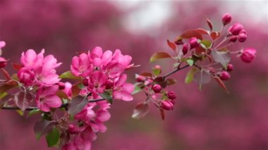 Blossoming apple trees — Stock Video