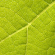 Green grape vine leaf macro - Stock Photo