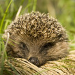 Hedgehog — Stock Photo #21732503