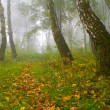 Autumn birch forest path during misty morning - Stock Photo