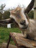 Retrato engraçado de cabra — Fotografia Stock