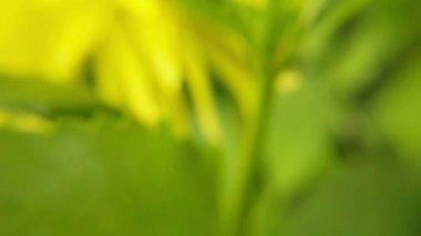 Blooming summer flower macro — Stock Video