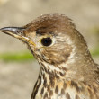 Young British Song Thrush (Turdus philomelos) close up. — Stock Photo #13603748