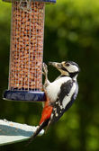 Great Spotted Woodpecker (Dendrocopos major) feeding from a garden bird fee — ストック写真