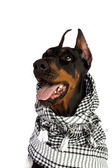Dobermann dog in black kufiya — Stock Photo