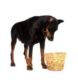 Pet dog looking for a food in basket — Stock Photo