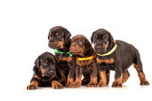 Group of dobermann puppies — Stock Photo