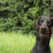 Stock Video: Doberman portrait