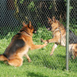 Foto de Stock  : Barking GermShepherds behind fence
