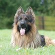 Long hair german shepherd dog — Stock Photo #32157193