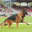 Stock Photo: Germshepherd dog running
