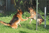 Barking German Shepherds behind the fence — Stock Photo