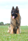 Long hair german shepherd dog — Stock Photo