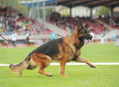 German shepherd dog running — Stock Photo